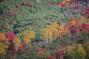 カラフルに色づいた秋の高山の林の写真素材 [FYI04930118]