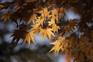 逆光の黄葉したモミジの写真素材 [FYI04930122]