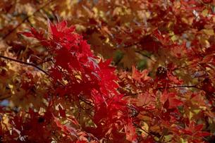 赤く色づいたモミジの葉の写真素材 [FYI04930134]