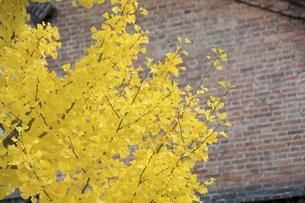 黄葉したイチョウとレンガ倉庫の壁の写真素材 [FYI04930136]