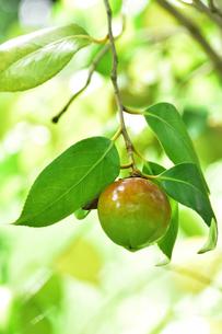 ツバキ(ツバキ科ツバキ属の常緑樹)の実(種)と葉と枝の写真素材 [FYI04930236]