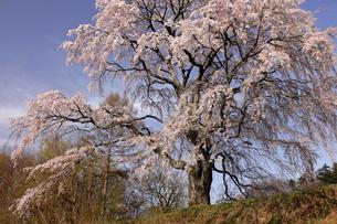 4月 郡山市の五斗蒔田桜の写真素材 [FYI04930375]