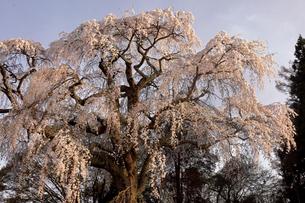 4月 三春町の八十内(やそうち)かもん桜の写真素材 [FYI04930377]