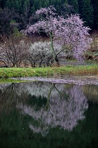 4月 千手院種蒔桜と映り込みの写真素材 [FYI04930555]