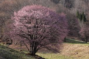 4月 遅咲きの西蔵王牧場の大山桜の写真素材 [FYI04930716]