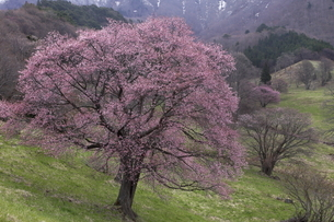 4月 遅咲きの西蔵王牧場の大山桜の写真素材 [FYI04930718]