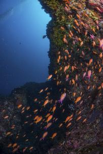 キンギョハナダイの群れの写真素材 [FYI04930966]