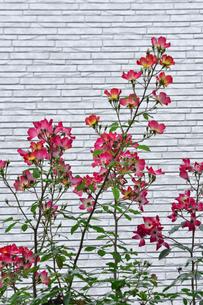 レンガ風の外壁の前に咲く赤いバラ(バラ科バラ属)の花と葉の写真素材 [FYI04931578]