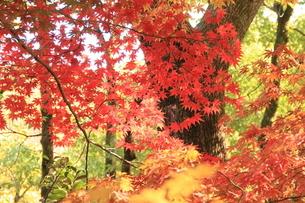 紅葉の彩り 関東 神奈川 もみじの写真素材 [FYI04931862]