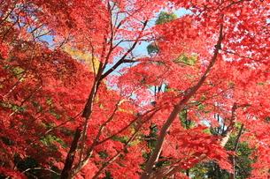 紅葉燃える 秋 関東 もみじの写真素材 [FYI04931864]