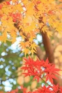 彩りの秋 信州 長野県の写真素材 [FYI04931865]