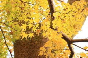 黄葉の季節 長野の写真素材 [FYI04931867]
