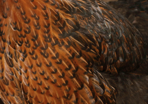 背景素材、美しい鶏の羽の写真素材 [FYI04932399]