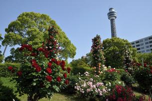 バラが咲く山下公園の写真素材 [FYI04933148]