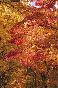 画面いっぱいの紅葉~札幌~の写真素材 [FYI04933163]