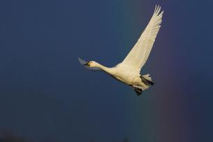コハクチョウの飛翔の写真素材 [FYI04936378]