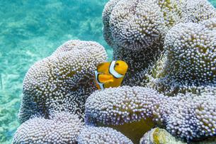 小浜島沖のカクレクマノミとイソギンチャクの写真素材 [FYI04938092]