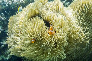 小浜島沖のカクレクマノミとイソギンチャクの写真素材 [FYI04938093]