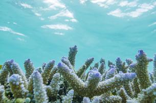 石西礁湖の美しい海とカラフルなエダサンゴの写真素材 [FYI04938097]