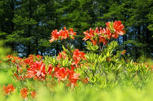 新緑に囲まれて咲くレンゲツツジの写真素材 [FYI04938750]