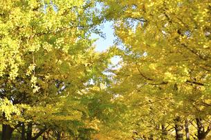 黄色く色づいたイチョウ並木の写真素材 [FYI04938792]