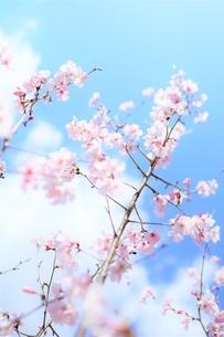 青空と白雲と桜花(彼岸桜)の写真素材 [FYI04938863]