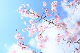 青空と白雲と桜花(彼岸桜)の写真素材 [FYI04938864]