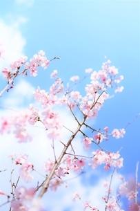 青空と白雲と桜花(彼岸桜)の写真素材 [FYI04938865]