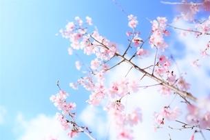 青空と白雲と桜花(彼岸桜)の写真素材 [FYI04938866]