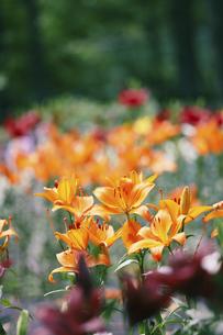 屋外で撮影した様々な色の百合の写真素材 [FYI04938946]