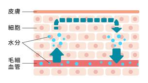 皮膚断面図イラスト /むくみ(浮腫)の発生していない通常の皮膚のイラスト素材 [FYI04939279]