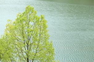 5月 白川湖の水没林の写真素材 [FYI04939528]