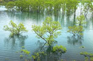 5月 白川湖の水没林の写真素材 [FYI04939533]