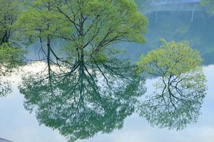 5月 白川湖の水没林の写真素材 [FYI04939538]