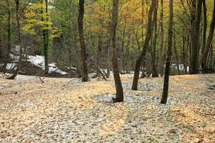 5月 新緑の月山ブナ林 残雪と根開きの写真素材 [FYI04939720]