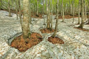5月 新緑の月山ブナ林 残雪と根開きの写真素材 [FYI04939729]