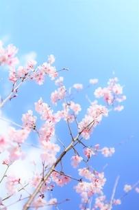 青空と白雲と桜花(彼岸桜)の写真素材 [FYI04939783]