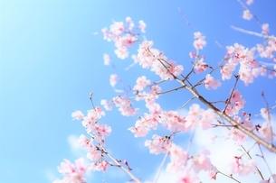 青空と白雲と桜花(彼岸桜)の写真素材 [FYI04939784]