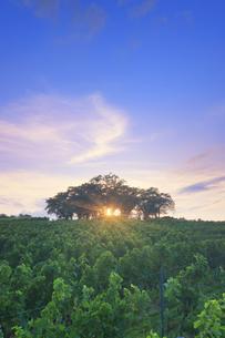 椀子ヴィンヤードのブドウ畑と一本木公園と夕日の木もれ日の写真素材 [FYI04940174]