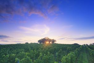 椀子ヴィンヤードのブドウ畑と一本木公園と夕日の木もれ日の写真素材 [FYI04940177]