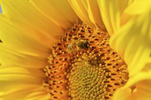 ハチとヒマワリの写真素材 [FYI04940193]