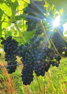 椀子ヴィンヤードのブドウ,シラーと朝の木もれ日の写真素材 [FYI04940245]
