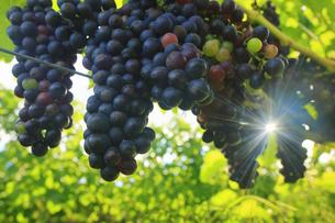 椀子ヴィンヤードのブドウ,シラーと朝の木もれ日の写真素材 [FYI04940248]