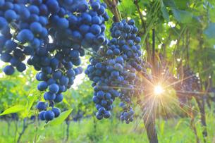 椀子ヴィンヤードのブドウ,シラーと朝の木もれ日の写真素材 [FYI04940249]