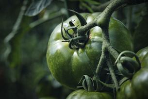 緑のトマトの写真素材 [FYI04940712]