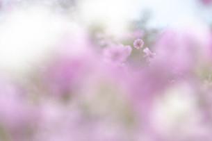 秋桜の写真素材 [FYI04940815]