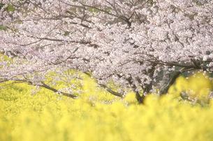 春爛漫の写真素材 [FYI04940816]