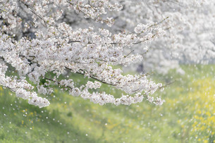 桜吹雪の写真素材 [FYI04940817]