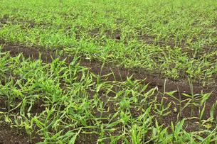 化成肥料が蒔かれている畑で育つショウガの写真素材 [FYI04941103]