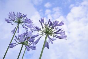 アガパンサス(ヒガンバナ科 / ムラサキクンシラン属(アガパンサス属)の紫色の花と青空と白い雲のある光景の写真素材 [FYI04941135]